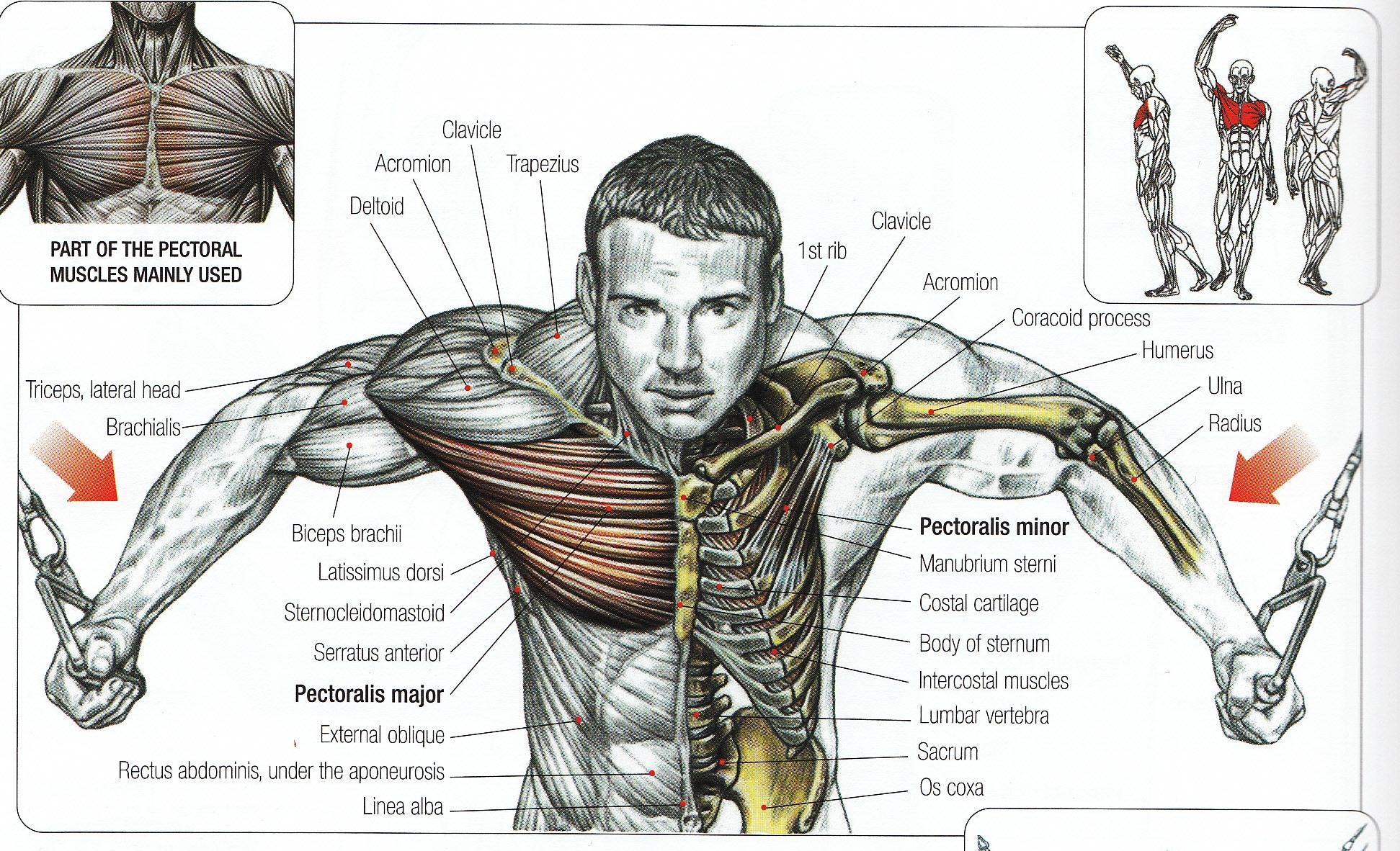 Muscle Chart  Anatomical Muscle Chart